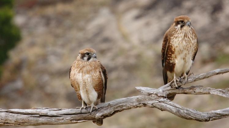 Brown Falcons