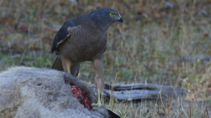 Goshawk Female on Roo