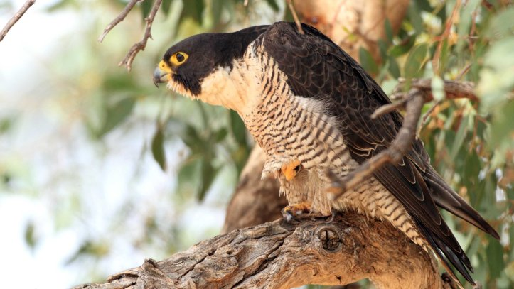 Peregrine for upload