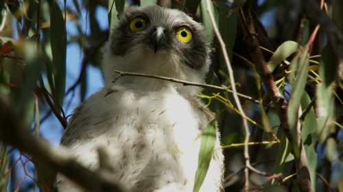 Powerful Owl Chick