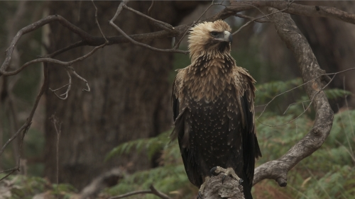 Young Wedge Tailed Eagle