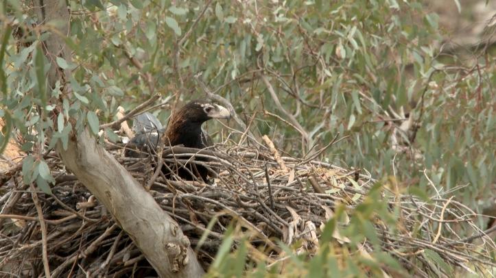 Eagle on Nest copy
