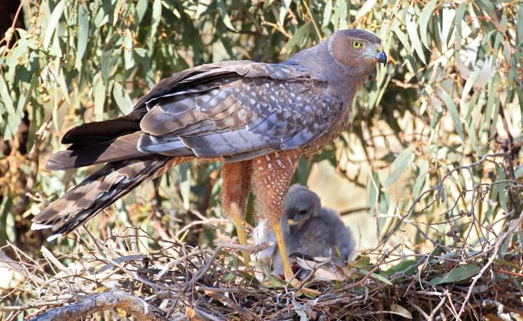 Spotted Harrier_Vimeo